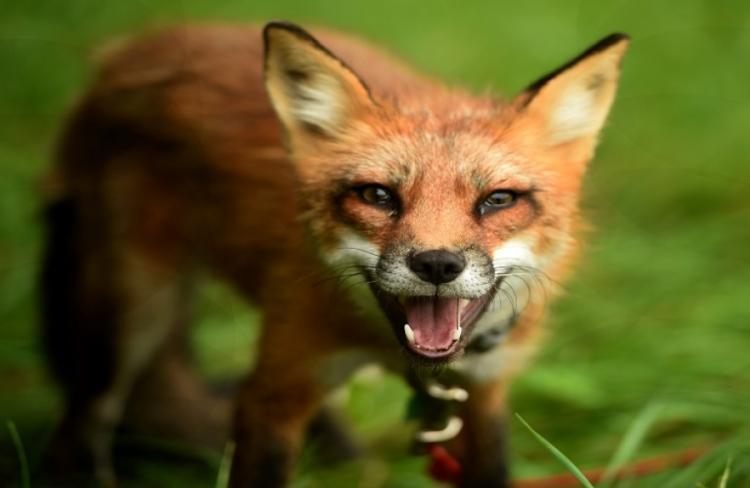Ενημέρωση για το πρόγραμμα εμβολιασμού των αλεπούδων κατά της λύσσας από την Π.Κ.Μ.