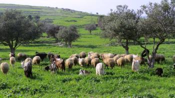 29 εκατ. ευρώ σε 7.000 δικαιούχους του προγράμματος Βιολογικής Κτηνοτροφίας