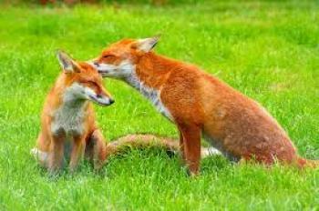 Π.Ε. Ημαθίας : Παράταση του χρόνου εφαρμογής του προγράμματος ενεργητικής επιτήρησης της λύσσας στις κόκκινες αλεπούδες