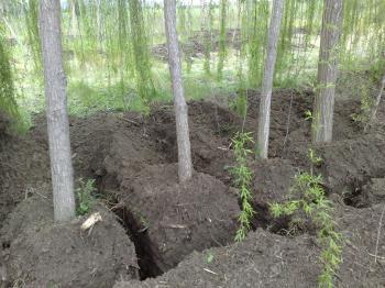 Κλέβουν φυτεμένα δένδρα από τα χωράφια!