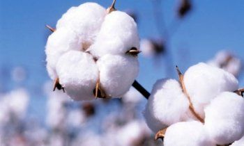 9 προτάσεις της διεπαγγελματικής οργάνωσης βάμβακος προς τους βαμβακοπαραγωγούς και τους εκκοκκιστές