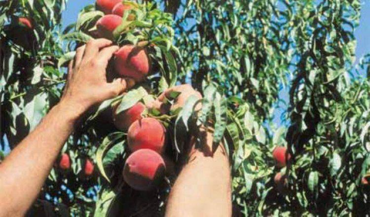 Ροδακινοπαραγωγοί χωρίς αύριο, άρθρο του Βοργιάδη Χρήστου