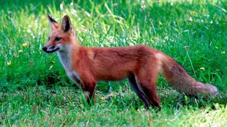 Πρόγραμμα δια του στόματος εμβολιασμού των αλεπούδων κατά της λύσσας το φθινόπωρο του 2017