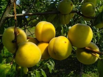 Ε.Κ.Ε. : Κίτρινο Συμπύρηνο Ροδάκινο *
