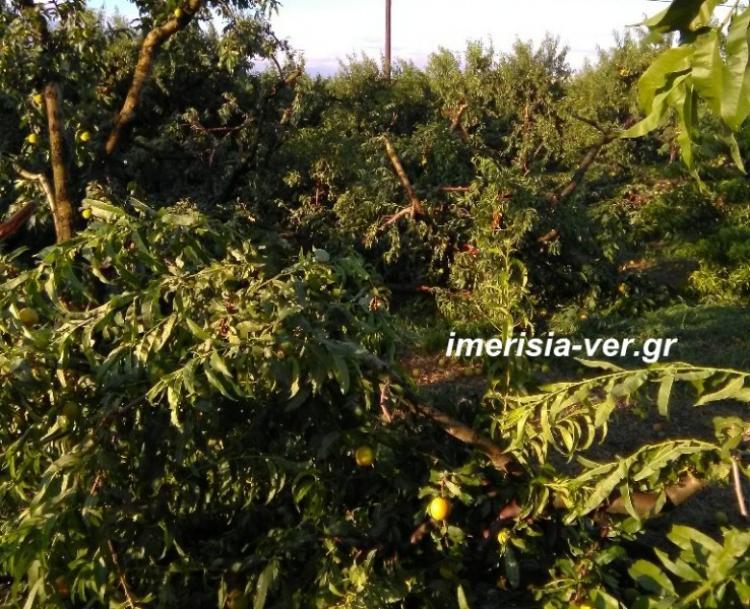 Τετέλεσται! Ολική καταστροφή στην παραγωγή της Ημαθίας από το χαλάζι και τον ανεμοστρόβιλο