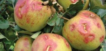 80.000 στρέμματα η πληγείσα έκταση στην Ημαθία, ζημιές σε ροδάκινα, κεράσια, μήλα και αχλάδια