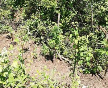 Συνελήφθη 38χρονος στην Ημαθία για καλλιέργεια δενδρυλλίων κάνναβης
