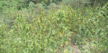 Από αστυνομικούς του Τ.Α. Βέροιας εντοπίσθηκε σε παραποτάμια αγροτική περιοχή φυτεία 745 δενδρυλλίων κάνναβης