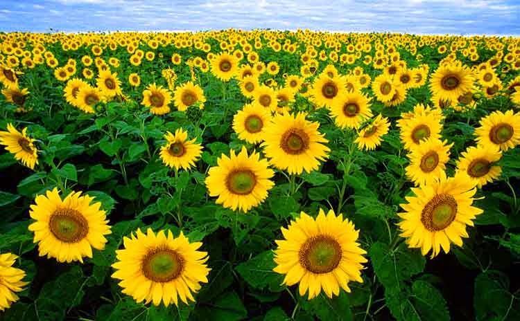 hashtag#yellow Flowers EU