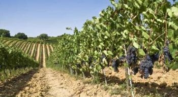 Η μηδενική χορήγηση αδειών φύτευσης στο νομό Ημαθίας οδηγεί σε συρρίκνωση άλλη μια καλλιέργεια