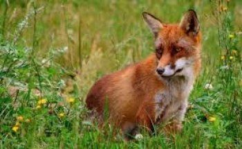 Ξεκινάει ο εναέριος εμβολιασμός των κόκκινων αλεπούδων με εμβόλια-δολώματα για προστασία από τη λύσσα