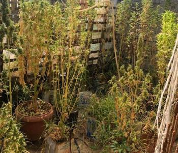 Συνελήφθη 58χρονος στην Ημαθία για καλλιέργεια κάνναβης
