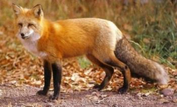 Ενεργητική επιτήρηση των κόκκινων αλεπούδων κατά της λύσσας μετά την εμβολιαστική εκστρατεία φθινοπώρου 2019