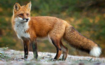 Εμβολιασμός των κόκκινων αλεπούδων με εμβόλια κατά της λύσσας