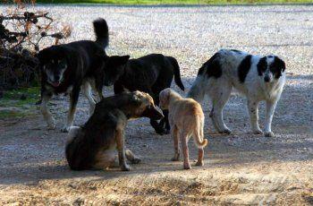 Προσπάθειες περισυλλογής με σκοπό τη διαχείριση των αδέσποτων σκύλων στο Δήμο Βέροιας