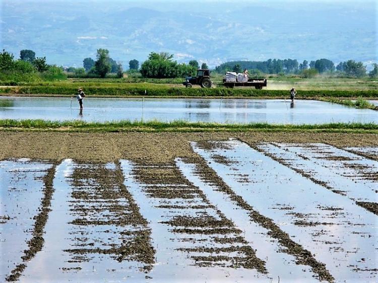 Τους κινδύνους από την ανεξέλεγκτη καλλιέργεια ρυζιού στα όρια του Δ.Αλεξάνδρειας θέτει ο Δήμαρχος Π.Γκυρίνης στον ΥπΑΑΤ