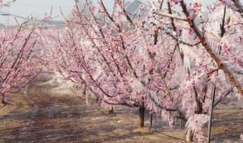 ΕΛΓΑ : Χορήγηση προθεσμίας για υποβολή δηλώσεων ζημιάς από παγετό της 17/03/2020 σε οπωροφόρα δέντρα
