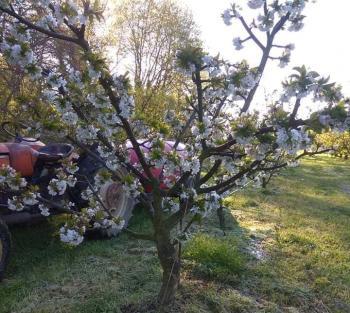 Πάγωσαν οι κερασιές σε Πέλλα και Ημαθία από τον παγετό της Μ. Πέμπτης