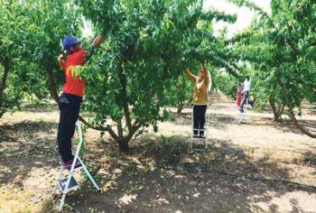 Οι Αγροτικές Συνεταιριστικές Οργανώσεις ζητούν ενδιαφερόμενους για να εργαστούν σε αγροκτήματα, διαλογητήρια και κονσερβοποιεία