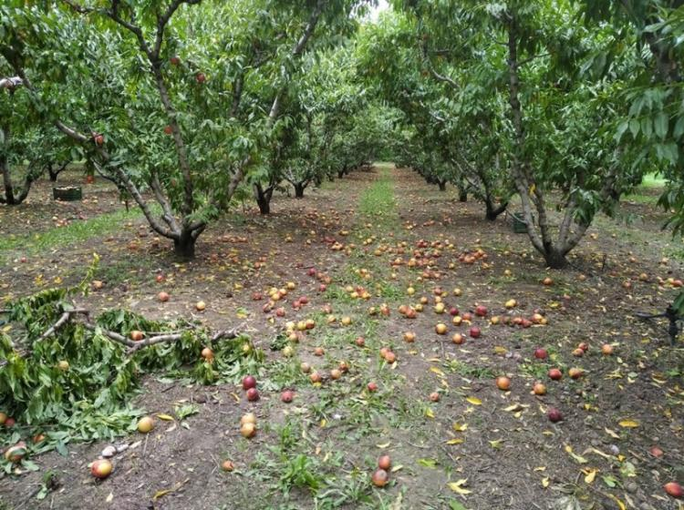 Α.Σ. Ημαθίας : Άμεση παρέμβαση της πολιτείας και καταβολή στρεμματικής ενίσχυσης στους ροδακινοπαραγωγούς