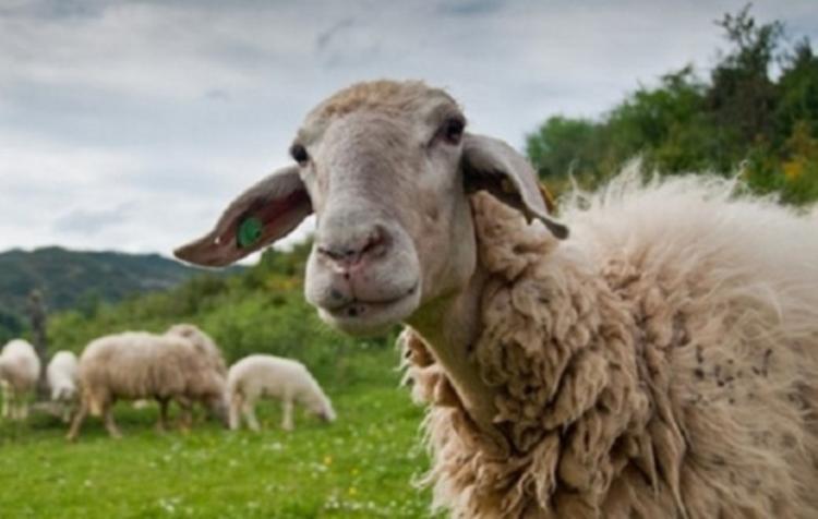 Π.Ε. Ημαθίας : Ενημέρωση κτηνοτρόφων και μέτρα προφύλαξης για τον καταρροϊκό πυρετό του προβάτου