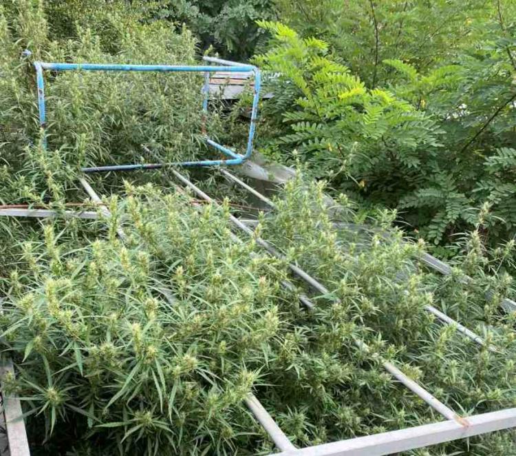 Σύλληψη ημεδαπού στην Ημαθία για καλλιέργεια δενδρυλλίων κάνναβης