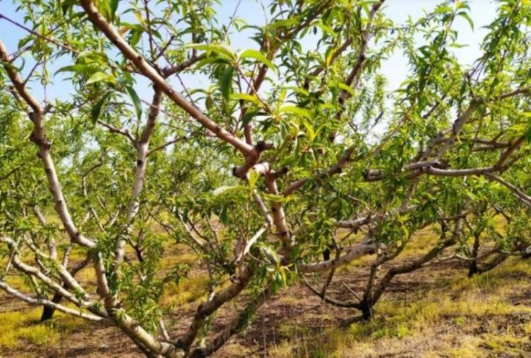 Ζημιές στις καλλιέργειες από τον παγετό - Ανακοίνωση Αγροτικών Συλλόγων Πέλλας & Ημαθίας