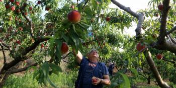 Εθνική Διεπαγγελματική Οργάνωση Πυρηνοκάρπων : Ενημέρωση για τη μετάκληση πολιτών τρίτων χωρών για εποχιακή απασχόληση σε αγροτικές εργασίες