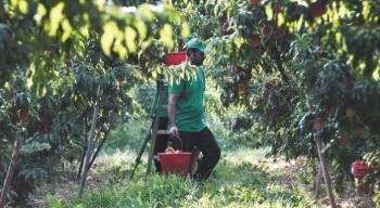 Κοινοπραξία Συνεταιρισμών Ομάδων Παραγωγών Ημαθίας : Μετάκληση εργατών με ΟΣΔΕ 2020 και Υπεύθυνη Δήλωση