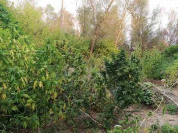 Από το Τμήμα Ασφάλειας Βέροιας εντοπίστηκαν σε δύσβατη περιοχή δύο φυτείες δενδρυλλίων κάνναβης