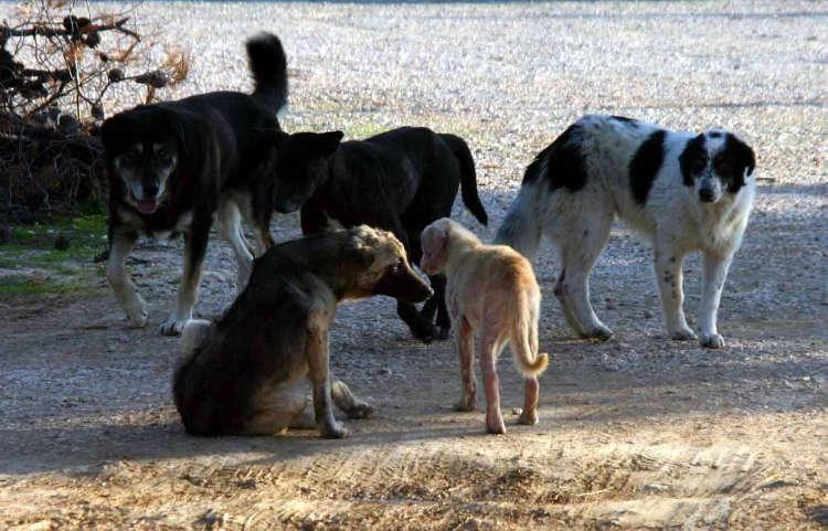 Καταγγελία για επίθεση αδέσποτων μεγαλόσωμων σκύλων σε παιδιά