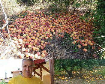 Εκτεταμένες ζημιές σε φρούτα από τις πρόσφατες βροχοπτώσεις, δεν καλύπτονται από τον ΕΛΓΑ