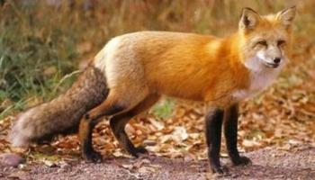 Εναέρια ρίψη εμβολίων-δολωμάτων κατά της λύσσας των αγρίων ζώων σε περιοχές της Ημαθίας από τις 18 έως της 28 Απριλίου