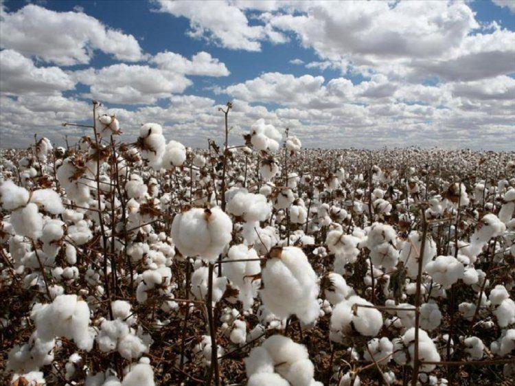 2ο δελτίο γεωργικών προειδοποιήσεων σε βαμβακοπαραγωγούς της ΠΕ Ημαθίας