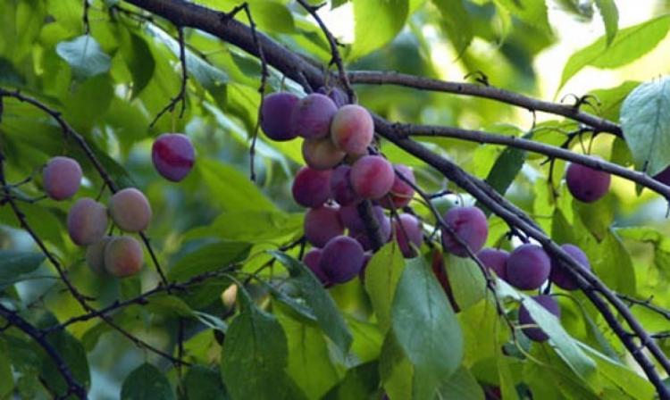 Δήμος Βέροιας : Υποβολή δηλώσεων ζημιάς στην καλλιέργεια Δαμασκηνιάς (Μπλακ Ντάιμοντ) και Βερικοκιάς