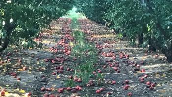 ΕΛΓΑ : Δεν καλύπτεται ασφαλιστικά η ζημιά στις καλλιέργειες ροδακινιάς και νεκταρινιάς από τις βροχοπτώσεις