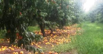 Αποζημιώνονται οι ροδακινοπαραγωγοί για τις περσινές βροχοπτώσεις μέσω de minimis και όχι από τον ΕΛΓΑ